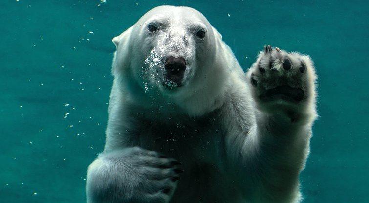 Gấu Bắc cực có thể bị tuyệt chủng vào năm 2100 -0