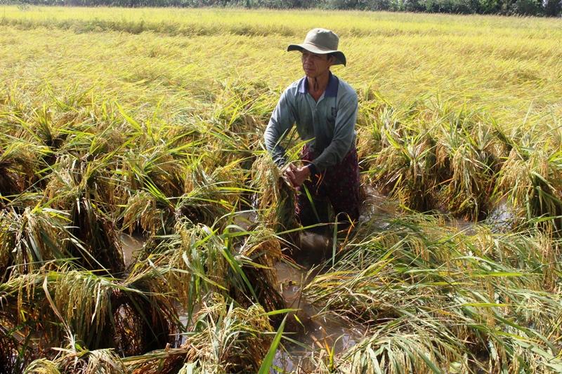 Hàng nghìn ha lúa ở Hậu Giang bị thiệt hại do mưa kéo dài -0