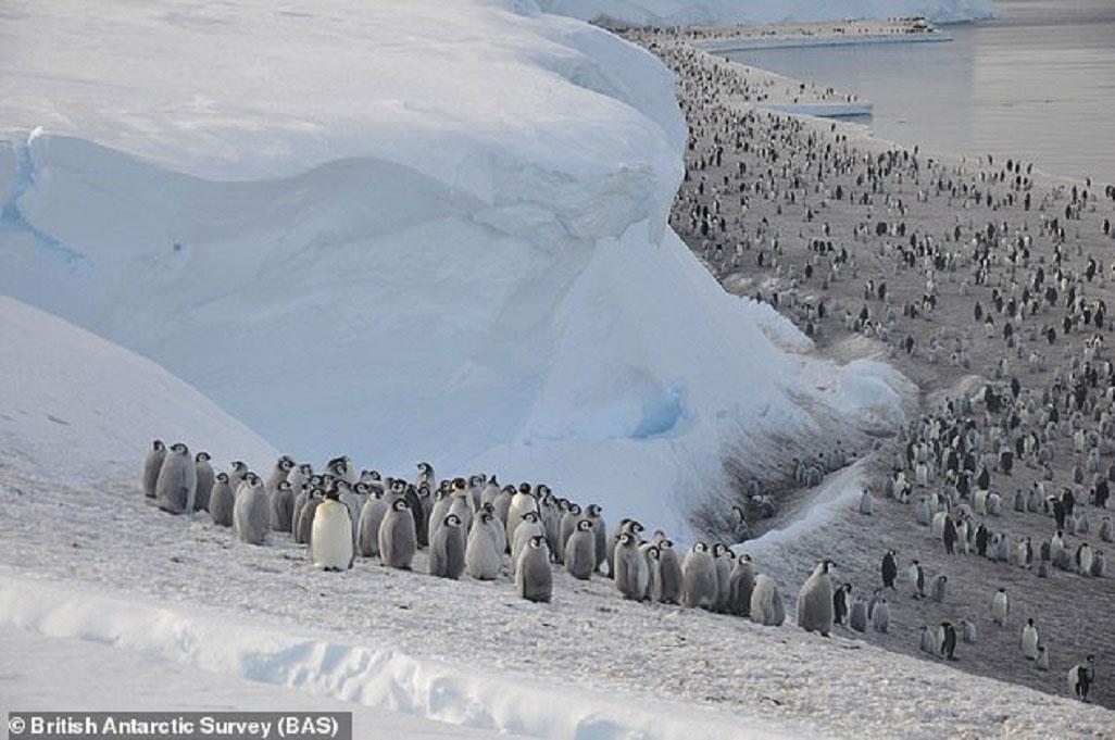 Hình ảnh vệ tinh tiết lộ chim cánh cụt Nam Cực đang tăng đàn -0
