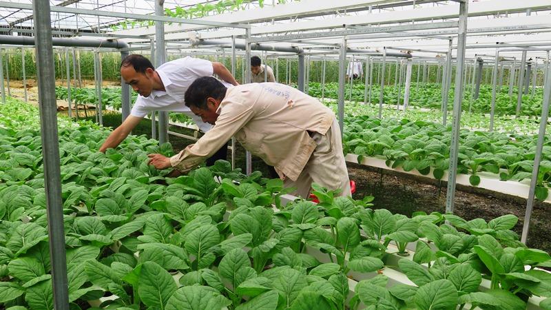 Liên kết sản xuất nông nghiệp hàng hóa ở TP Lai Châu -0