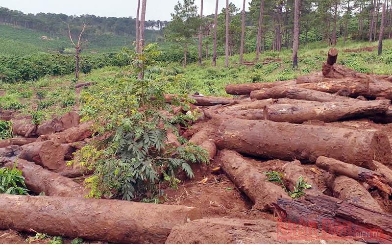"""Những cánh rừng thông bị """"vùi"""" xuống lòng đất -0"""