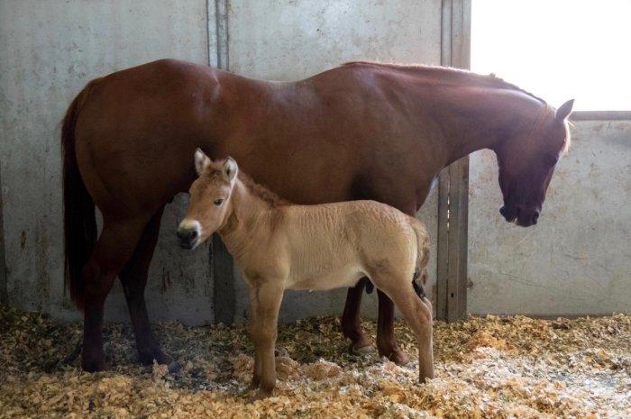 Ngựa hoang Mông Cổ nhân bản đầu tiên trên thế giới -0