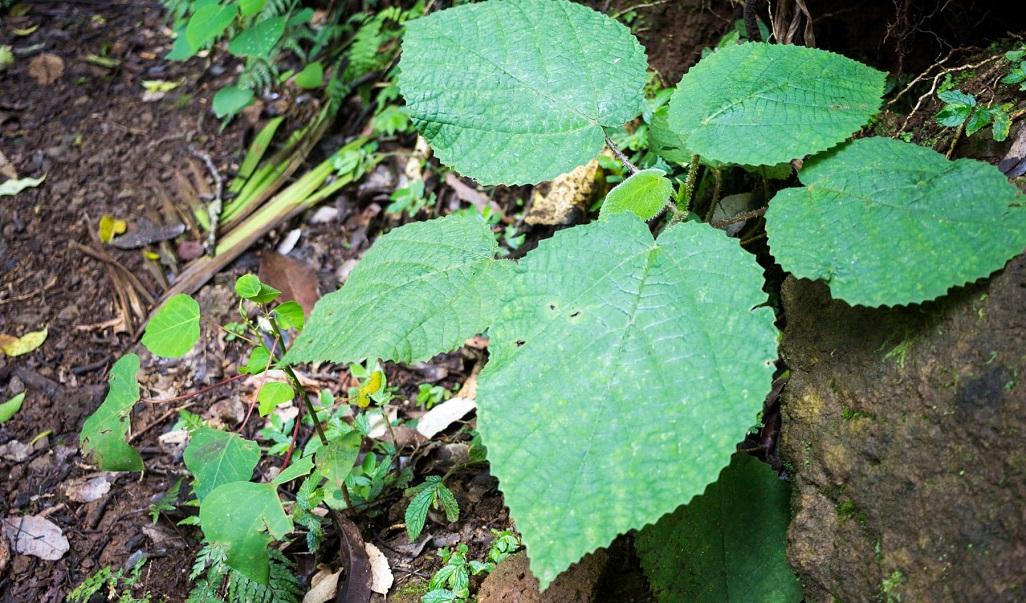 Phát hiện loài cây tiết ra nọc độc giống bọ cạp -0
