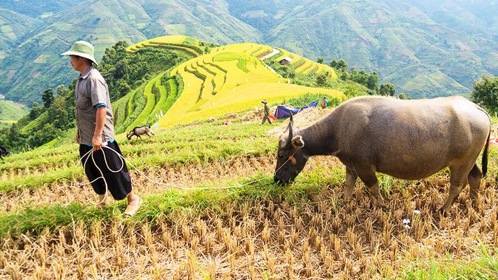 Gặt lúa trên nương cao -0