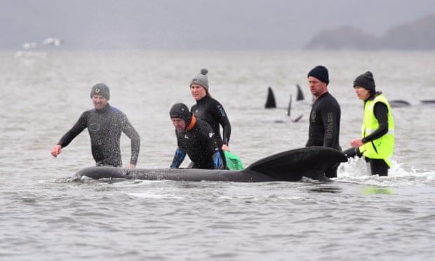 380 con cá voi chết, vụ mắc cạn trở nên tồi tệ nhất lịch sử Australia -0
