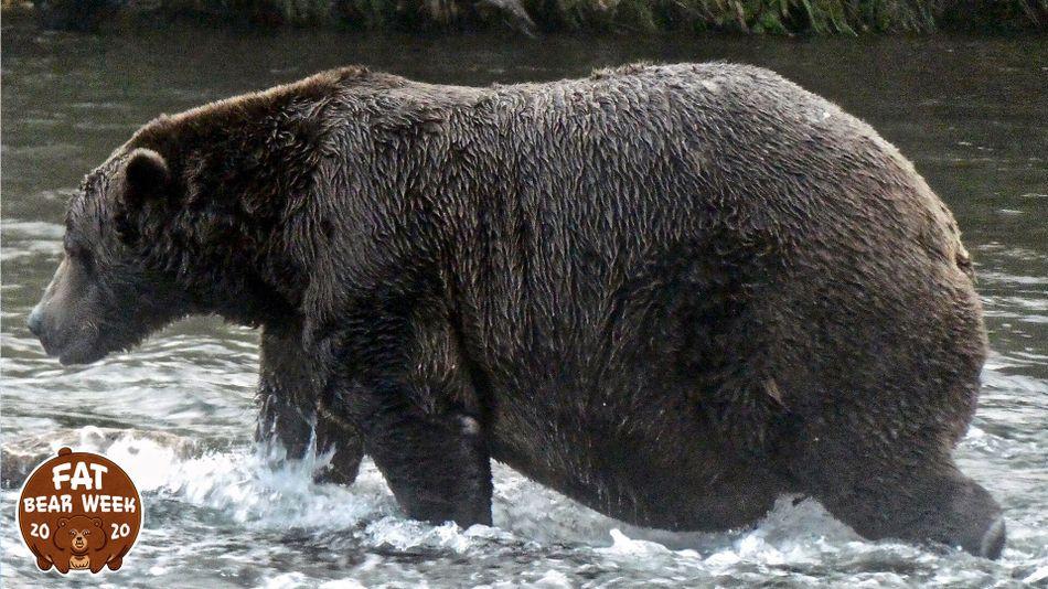 Ngắm những chú gấu béo trước giấc ngủ đông -0