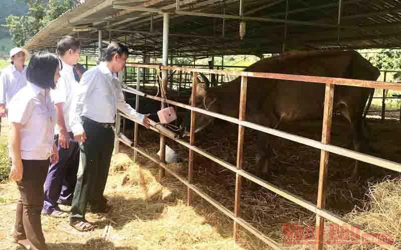 Trách nhiệm với đàn bò tót lai F1 ở Ninh Thuận -0