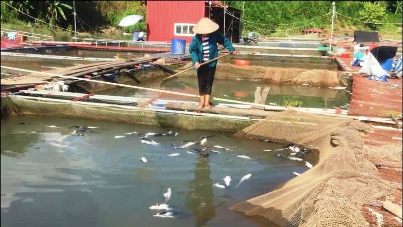 Hơn 40 tấn cá lồng chết do thủy điện xả đáy -0