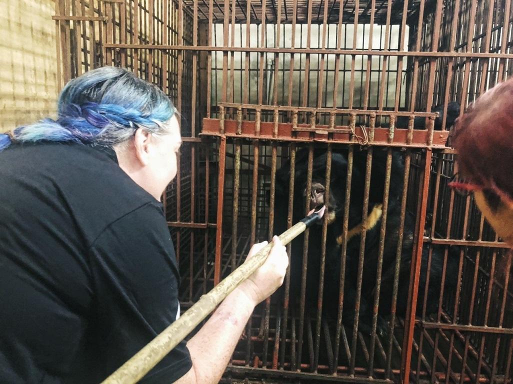 Cứu một cá thể gấu ngựa 18 năm nuôi nhốt tại Hà Nội -0