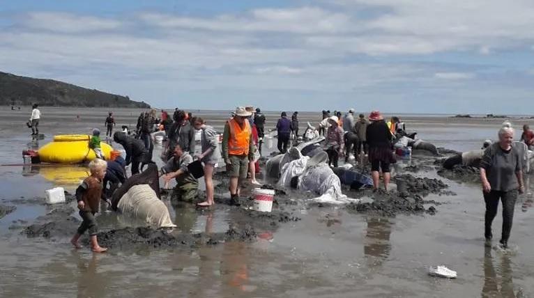 Hơn chục cá voi chết vì mắc cạn trên bãi biển New Zealand -0
