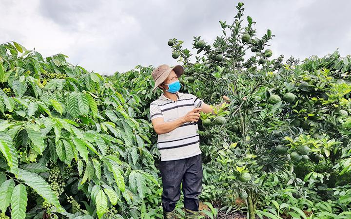 Mô hình trồng xen cây ăn quả trong vườn cà-phê ở Đăk Hà
