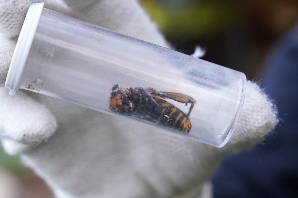 Mỹ phá hủy tổ ong vò vẽ châu Á xâm lấn đầu tiên -0