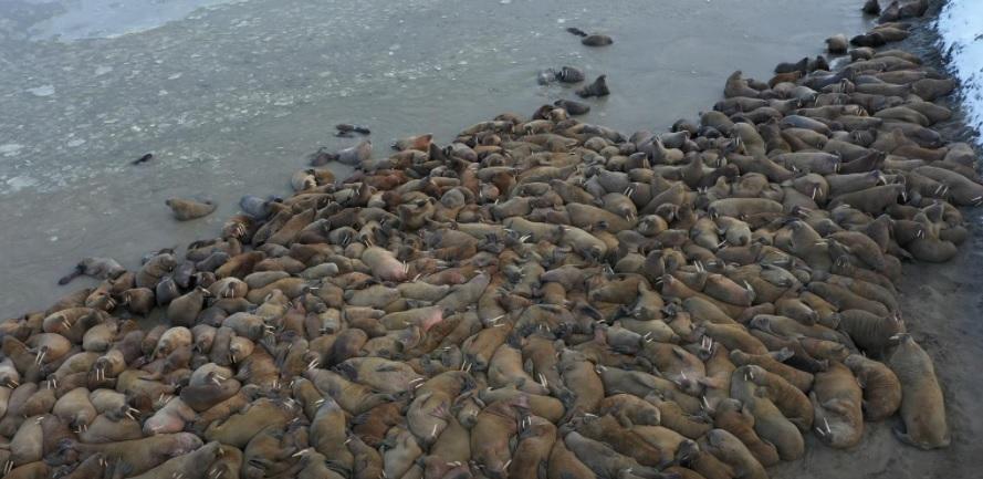 Nga phát hiện quần thể hải mã khổng lồ ở vòng Bắc Cực -0
