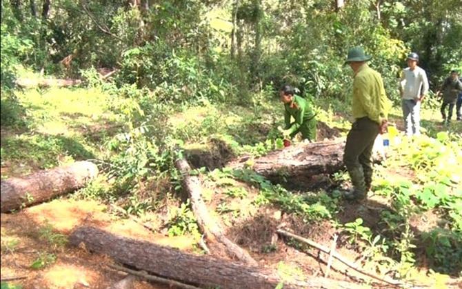 Xác định các đối tượng cưa hạ hàng loạt cây thông rừng phòng hộ -0
