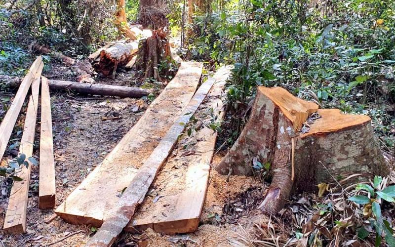 Khẩn trương điều tra và xử lý nghiêm vụ phá rừng bạch tùng cổ thụ -0