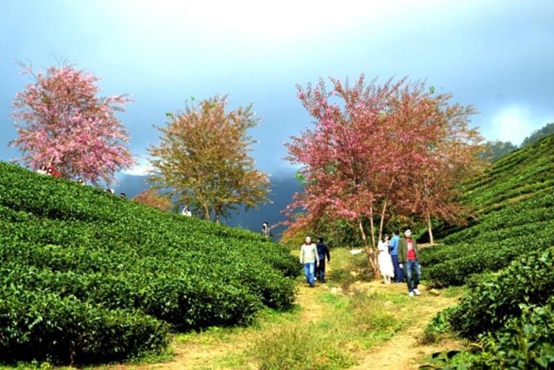 Thắm sắc anh đào Nhật giữa núi rừng Sa Pa -1