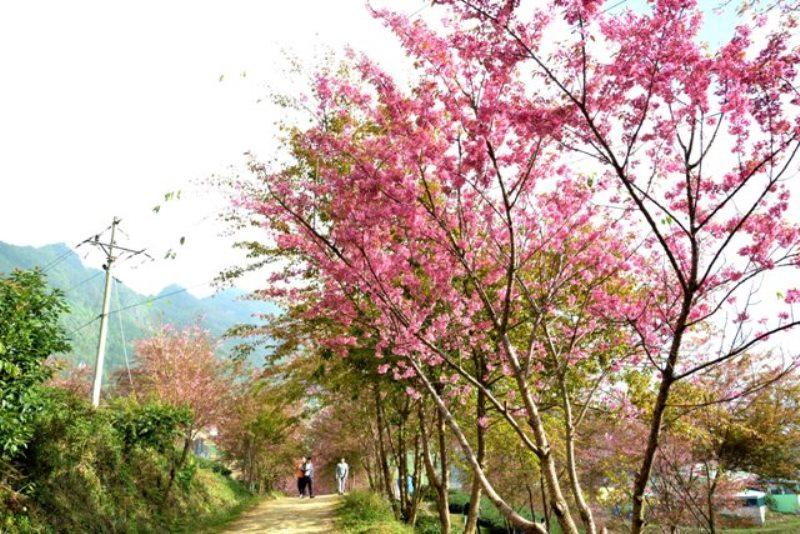Thắm sắc anh đào Nhật giữa núi rừng Sa Pa -2
