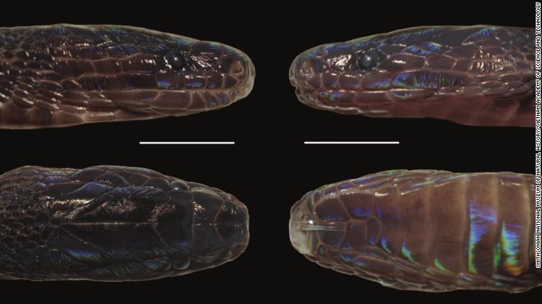 Phát hiện loài rắn lạ có màu sắc óng ánh ở Việt Nam -0