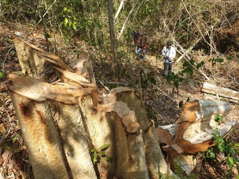 Xử lý nghiêm vụ khai thác gỗ trái phép trong Khu bảo tồn thiên nhiên Ea Sô -0
