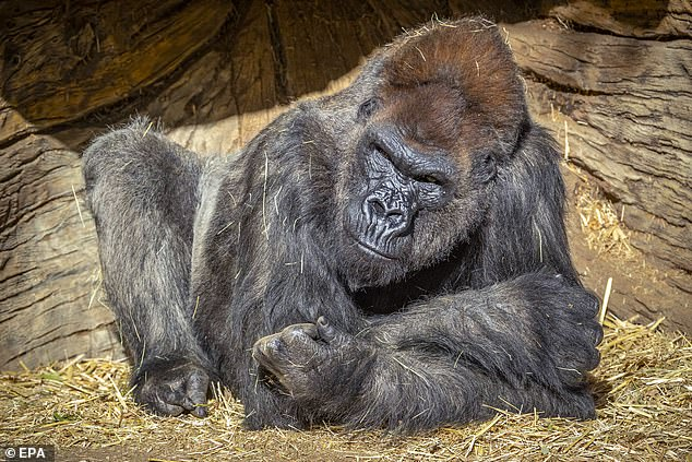 Lần đầu tiên phát hiện khỉ đột trong vườn thú mắc Covid-19 -0