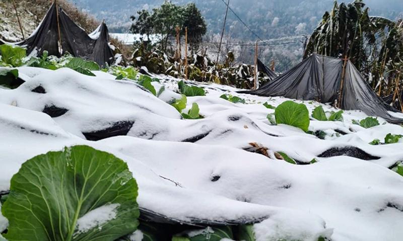Nhiều gia súc bị chết rét vì băng tuyết ở Lào Cai