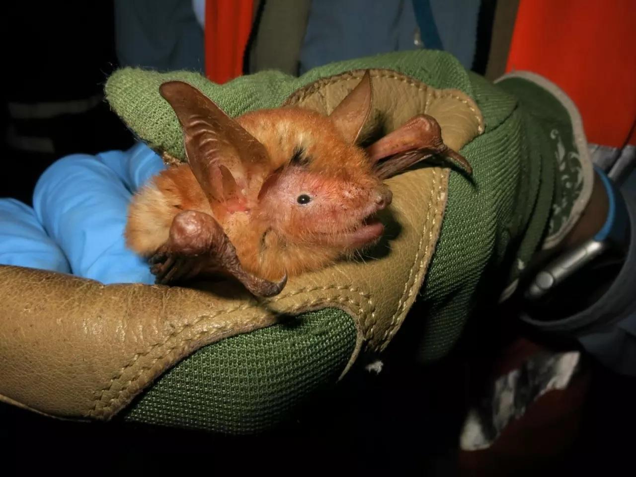 Phát hiện loài dơi màu cam bí ẩn ở Tây Phi -0