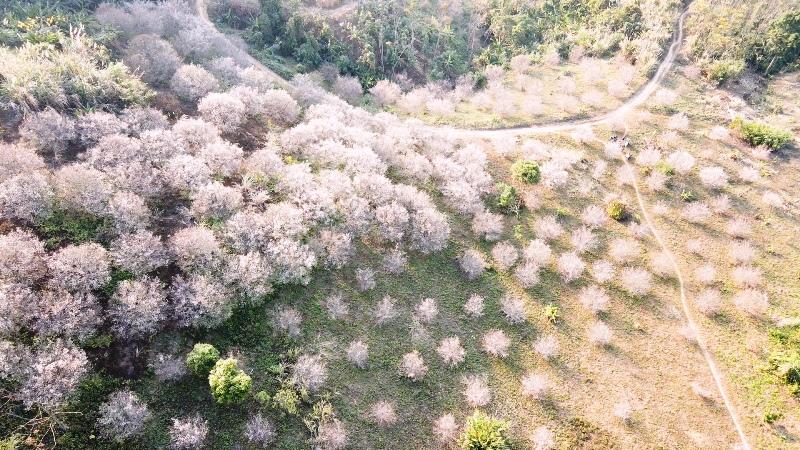 Bung nở hoa xuân trên rẻo cao Bắc Kạn -0