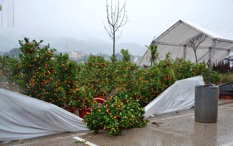 Đào, quất Tết hư hỏng nặng vì mưa to, gió lớn ở Lào Cai -0