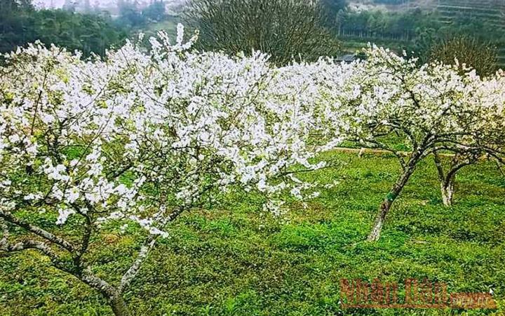 Mùa hoa mận trên cao nguyên trắng Bắc Hà -5