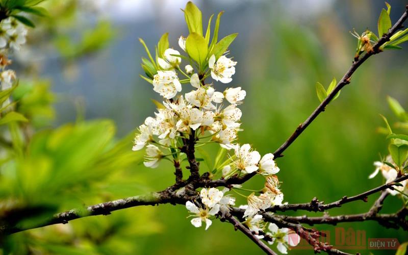 Mùa hoa mận trên cao nguyên trắng Bắc Hà -6
