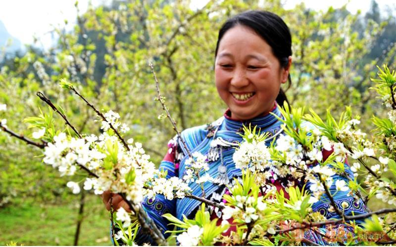 Mùa hoa mận trên cao nguyên trắng Bắc Hà -7