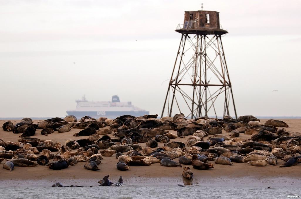 Hải cẩu quay trở lại bờ biển phía bắc nước Pháp -0