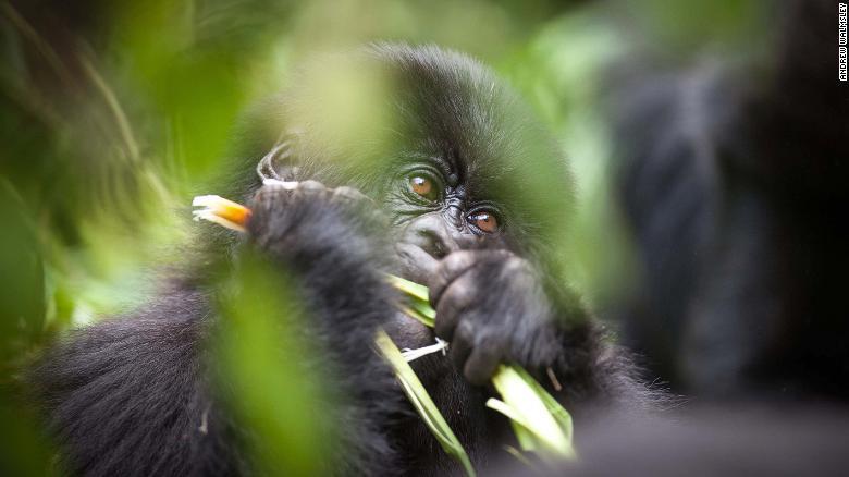 Khách du lịch chụp ảnh tự sướng có thể lây Covid-19 cho khỉ đột -0