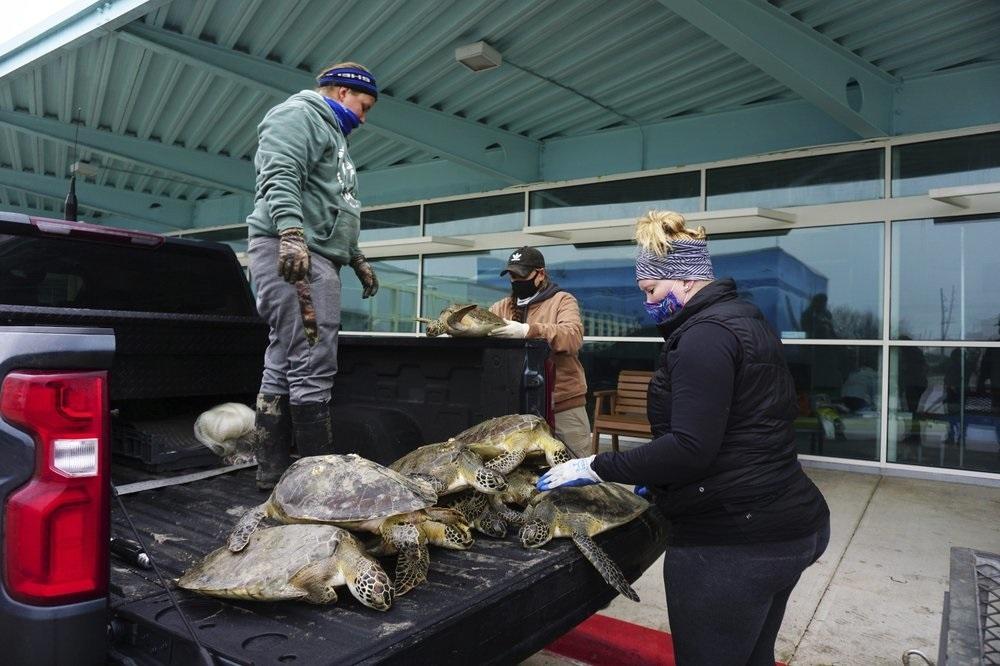 Giải cứu hàng nghìn con rùa biển đang chết rét ở Texas -0