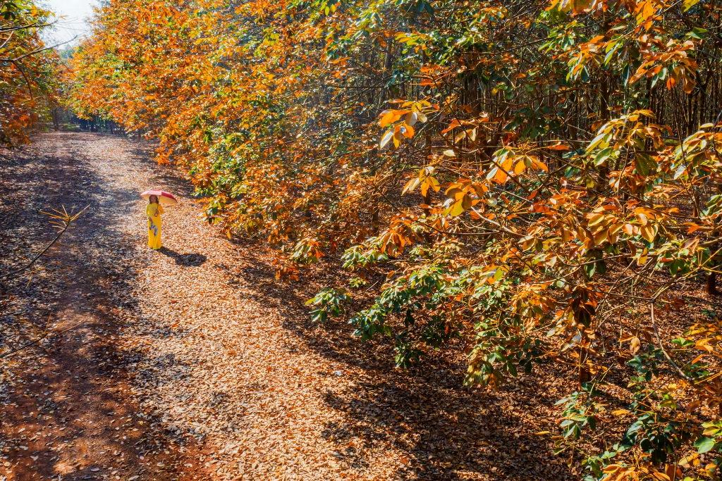 Trải nghiệm vẻ đẹp cao-su mùa thay lá ở Đồng Nai -1