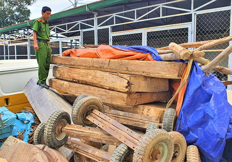 Rừng pơ-mu nguyên sinh ở Đắk Lắk tiếp tục bị khai thác trái phép -0