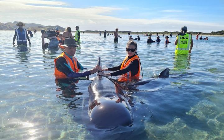 Giải cứu 40 con cá voi mắc cạn ở New Zealand -0