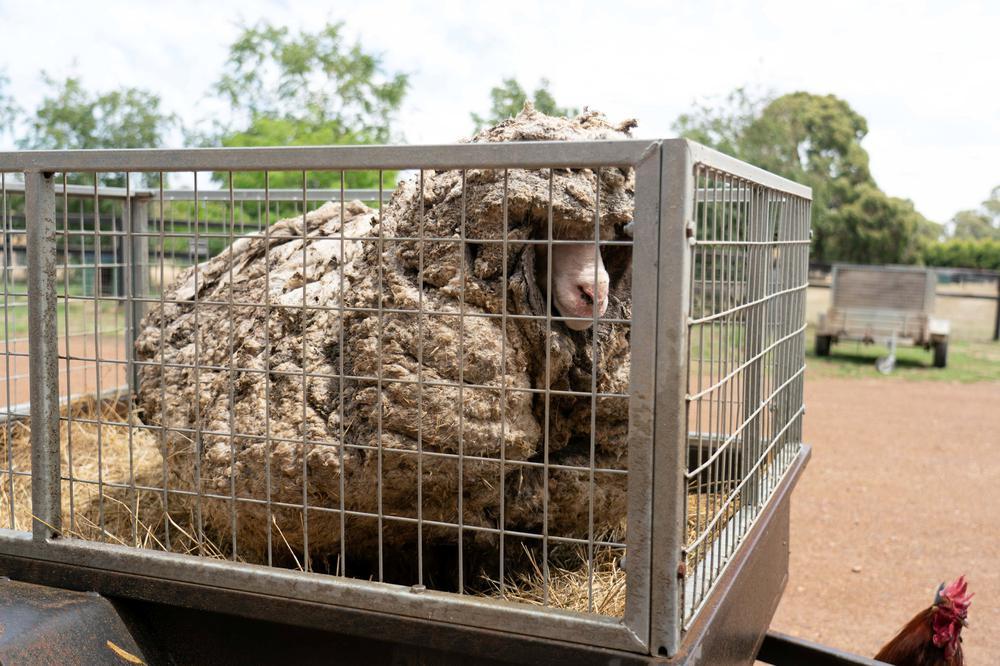 Giải cứu cừu hoang dã mang bộ lông nặng tới 35 kg -0