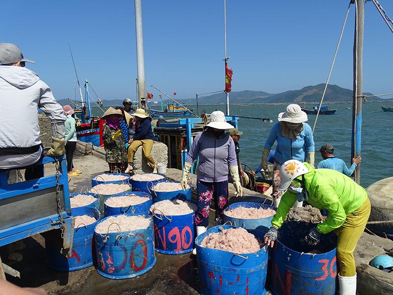 Ngư dân thị xã Sông Cầu được mùa ruốc biển -0
