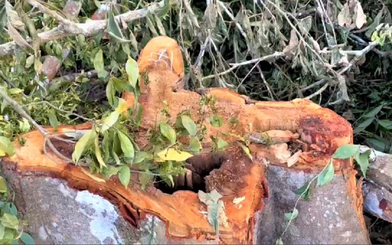 Sẽ khởi tố vụ tàn phá hơn 12.000 m2 rừng ở khu vực giáp ranh giữa tỉnh Đắk Lắk và Gia Lai -0