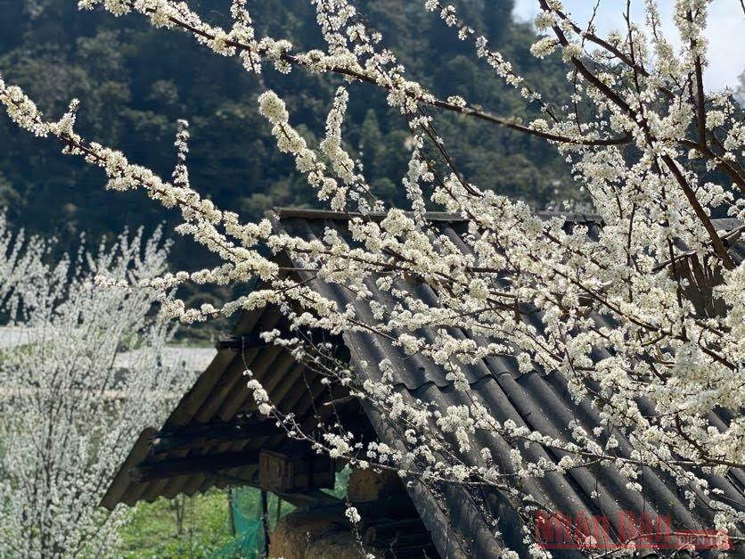 Hoa mận Bắc Hà: mùa xuân còn sót lại -1