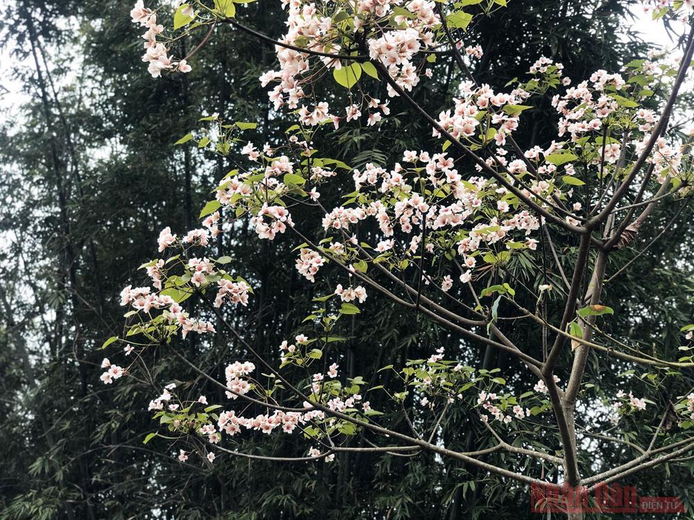 Tháng 3 - triền núi trắng hoa trẩu -1