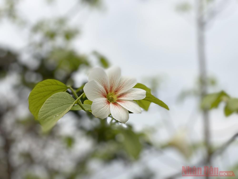 Tháng 3 - triền núi trắng hoa trẩu -2