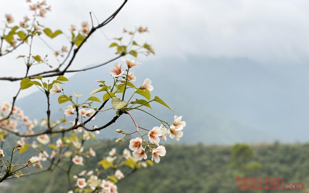 Tháng 3 - triền núi trắng hoa trẩu -0