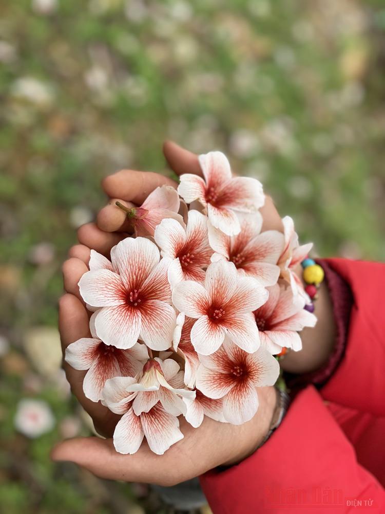 Tháng 3 - triền núi trắng hoa trẩu -4