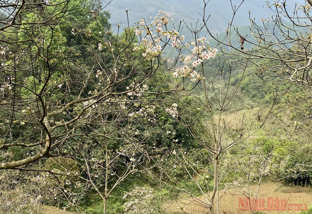 Tháng 3 - triền núi trắng hoa trẩu -5