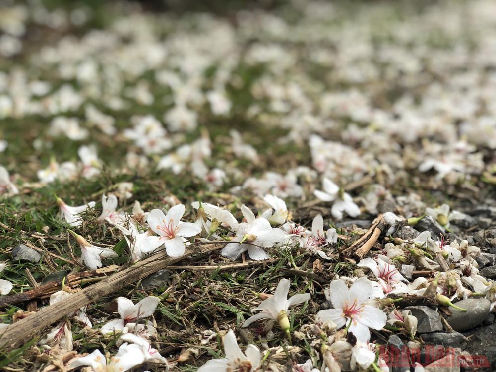 Tháng 3 - triền núi trắng hoa trẩu -6