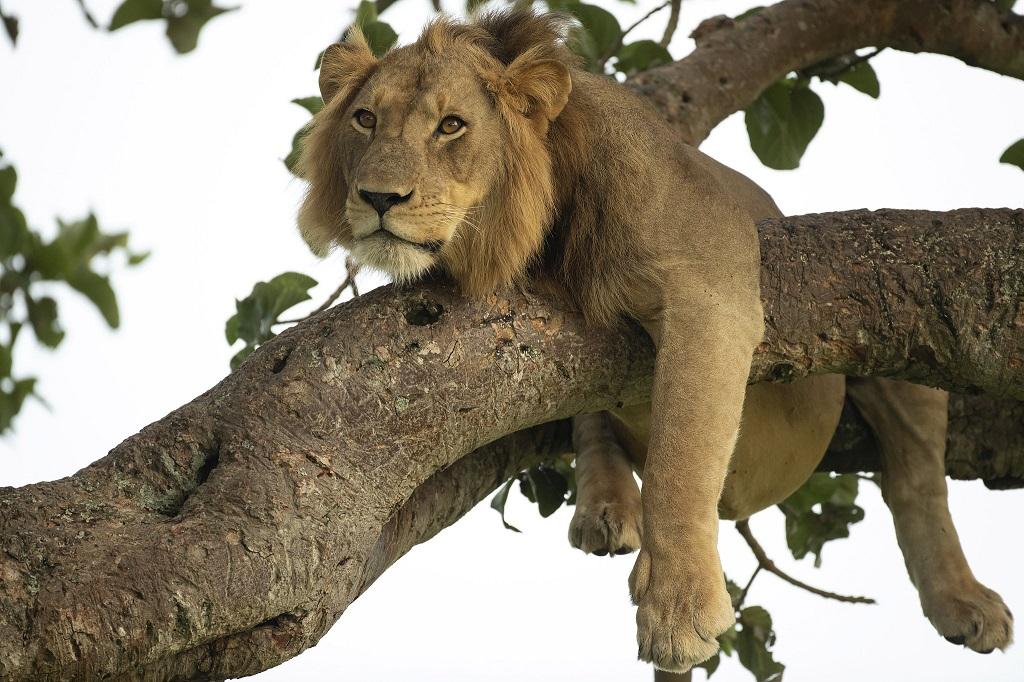Sáu con sư tử bị đầu độc chết trong vườn quốc gia Uganda -0