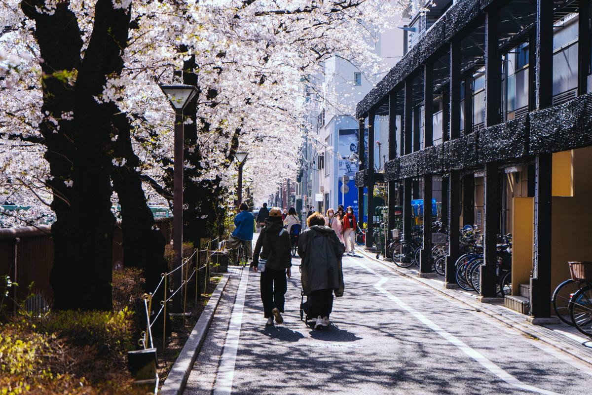 Rực rỡ mùa hoa anh đào nở rộ sớm kỷ lục ở Nhật Bản -0