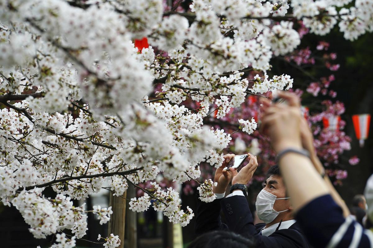 Rực rỡ mùa hoa anh đào nở rộ sớm kỷ lục ở Nhật Bản -1
